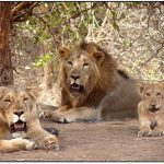 Gujarat launches Rs 351-cr project to conserve Gir lions