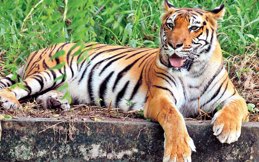 Tiger conservation top marks for India