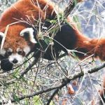 Conservation awareness prog turns red panda poachers into conservationists