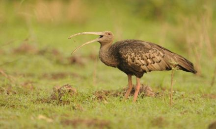 Birdfair 2019 project announced: Conserving Cambodia's 'Big Five'