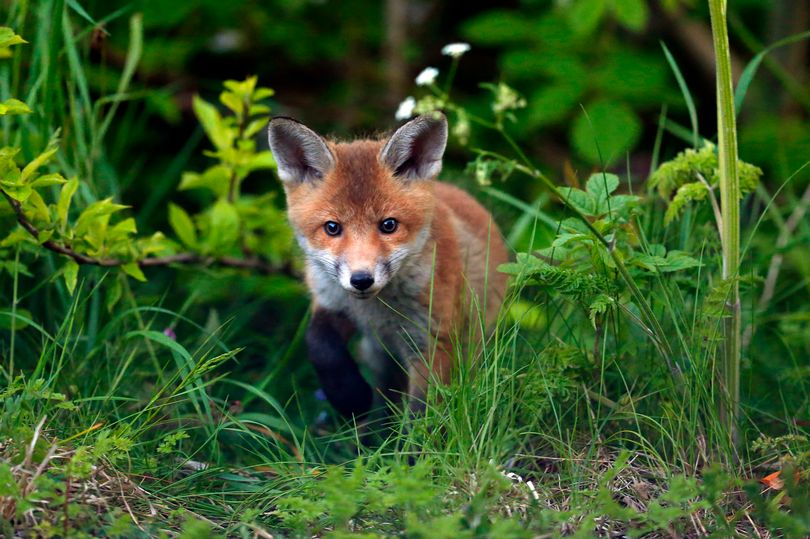 Shocking scale of illegal fox hunting in Cheshire revealed – 14 years after it was banned