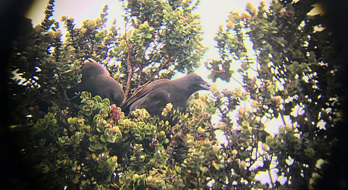 Critically endangered Hawaiian crows build first nest in the wild in decades