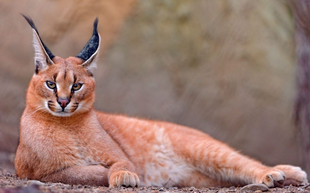 CARACAL – THE WILD CAT