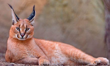 CARACAL – THE WILD CAT
