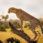 NEXT IN LINE? THERE ARE ONLY 7,500 CHEETAHS LEFT IN THE WORLD