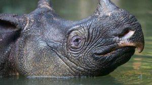 Javan Rhino - Lonely Creatures