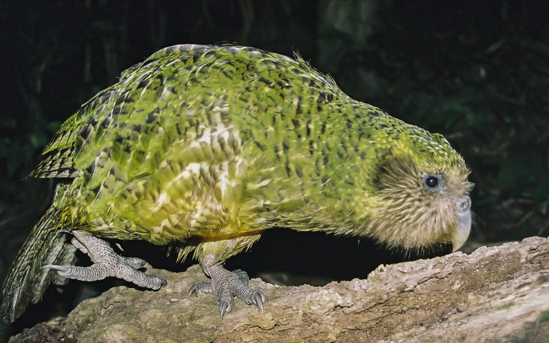 KAKAPO – THE ONLY FLIGHTLESS PARROT