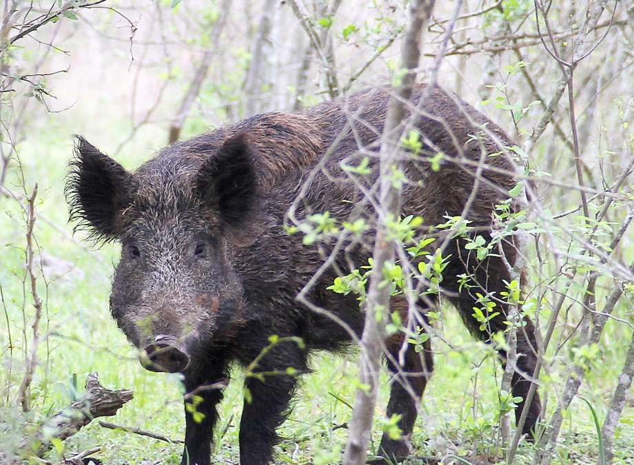 THREAT TO HIMACHAL NATIONAL PARK WILDLIFE – WILD BOAR SPOTTED