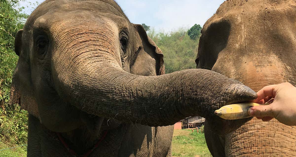 Elephants can judge the quantity of hidden food just by using smell