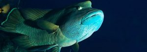 Humphead Wrasses: A Threatened Reef Fish