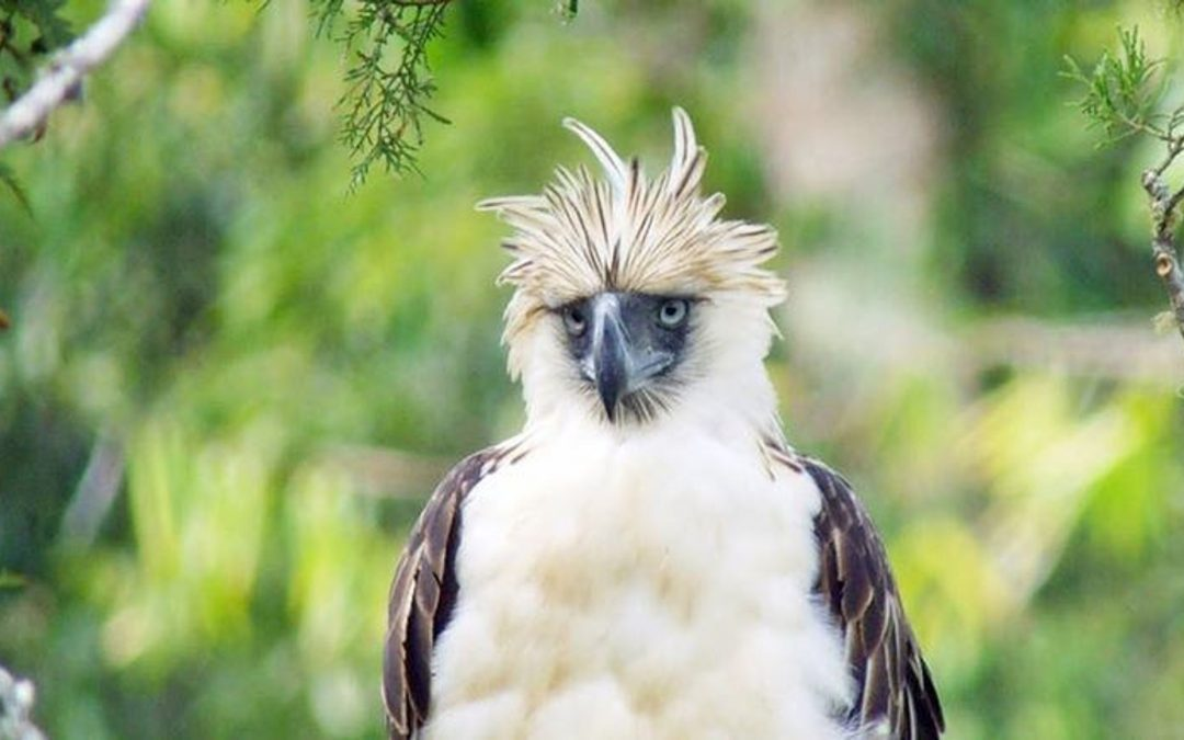 The Monkey-Eating Eagle Endangered