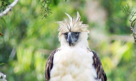 The Monkey-Eating Eagle Endangered