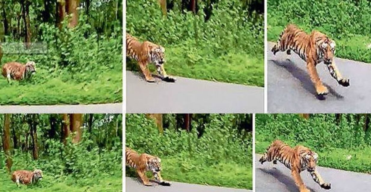 TIGER CHASES TWO FOREST OFFICIALS RIDING ON BIKE IN KERALA WILDLIFE SANCTUARY