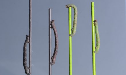 Caterpillars Can 'See' Colors With Their Skin