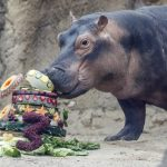 For hippo Fiona's 3rd birthday, zoo seeks aid for Australia