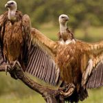 Vulture conservation centre comes up in UP