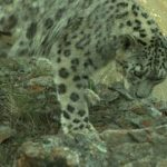Snow Leopard Conservation Gets Boost from IUCN Save Our Species