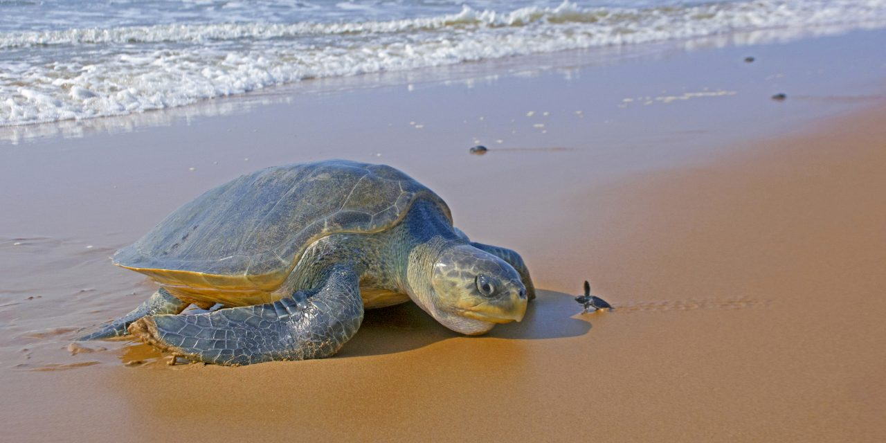 Rushikulya A Safe Refuge for Olive Ridley Turtles