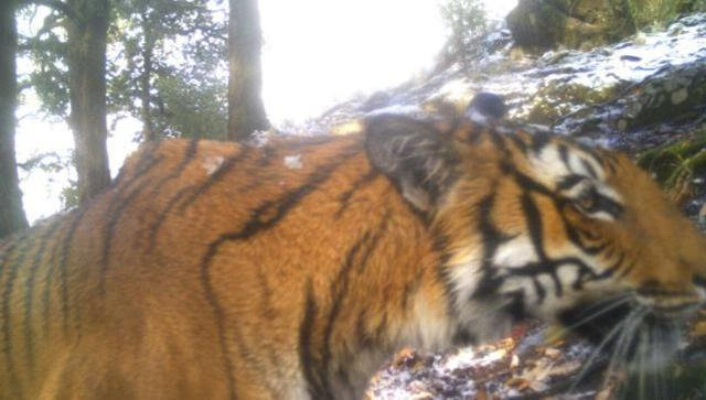 Tiger spotted above 12,000 ft