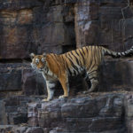 MACHLI – A tribute to the Queen mother of Tigers