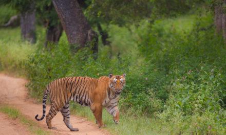 Bandipur's celebrity tiger Prince is dead