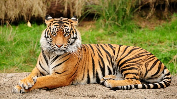 An Introduction to Tigers
