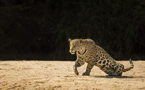 The Jaguars of Pantanal
