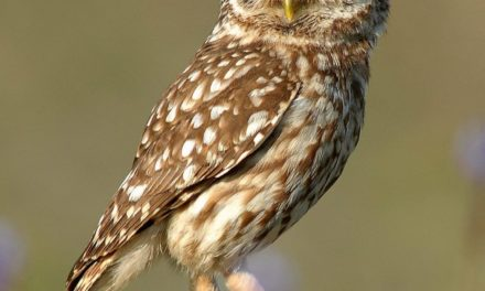 Cat lovers at Google are to blame for dwindling burrowing owl population, say wildlife activists