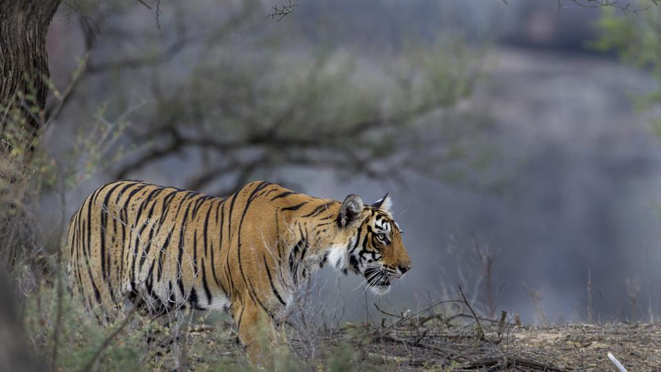 TIGER CLICKED HEADING TO SNOWBOUND AREA OF KEDARNATH SANCTUARY