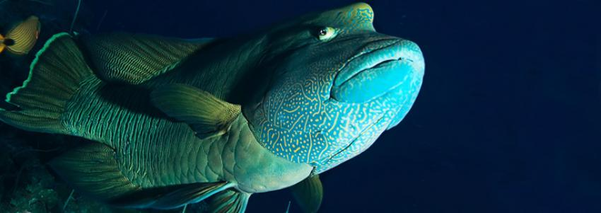 Humphead Wrasse- The endangered one