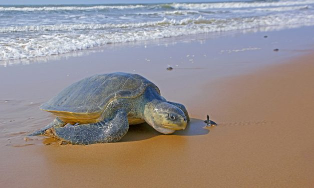 Rushikulya A Safe Refuge for Olive Ridley Turtles